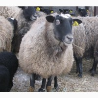 Романовские бараны, овцы