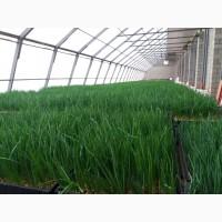 Продам зеленый лук перо