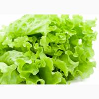 Продам салат листовой (ладошка ~ 80 - 100 грамм пучок). Крупный опт