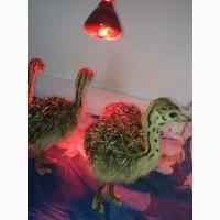 Продам молодняк страусів