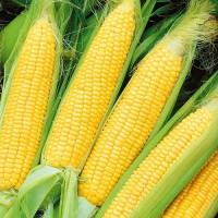 Купляємо кукурудзу по Україні. Протравлену некондицію, биту, вологу та відходи кукурудзи