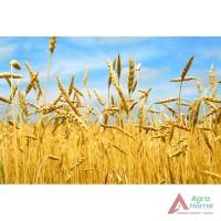 Закупаем пшеницу, ячмень, кукурузу