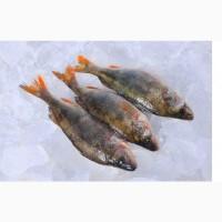 Свіжа риба опт. Річкова свіжа риба