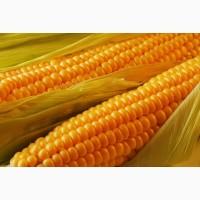 Семена кукурузы ДК Бурштин, ФАО 350