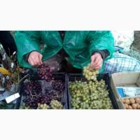 Продам черенки та саджанці винограду недорого