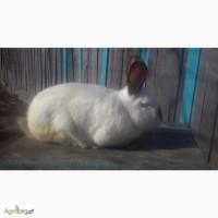 Продам кролів на розвід