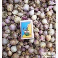 Однозубка сортового чеснока