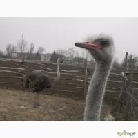 Продам взрослых африканских страусов