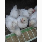 Подрощенные цыплята Адлер серебристый