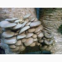 Грибы вешенки. Готовые грибные блоки