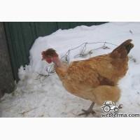 Инкубационное яйцо Голошейки, Мастер Грей и Редбро