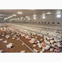 Цыплята бройлера Кобб 500, суточные и подросток. Возраста разные