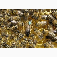 Продам бджолопакети карніка