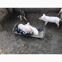 Свиньи живым весом Поросята Мясо