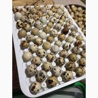 Продам яйця перепелині інкубаційні