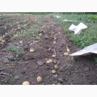 Насіннєва картопля (Княгиня, Кіранда, Щедрик, Арізона) по Україні (роздріб, малий опт)