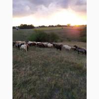 Продаються дійні вівці