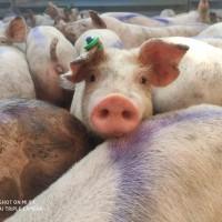 Продаются Мясные поросята с комплекса ОПТ. Работаем по всей Украине