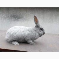 Продаю кролів Полтавське срібло