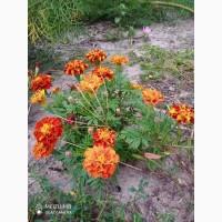 Продам квіти корзинки чорнобривців сухі