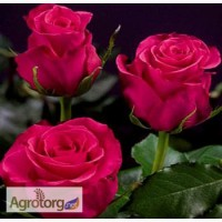 Роза Эквадор срез оптом