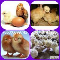 Продам цыплят Редбро, Мастер Грей и другие