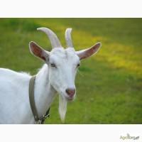 Продам козу дойную + 2 козочек 6 мес
