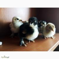 Продам цыплят Кохинхин карликовый