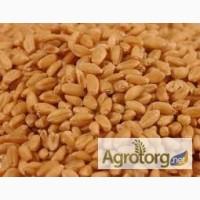 Продам пшеницу 2 класс CPT, FOB