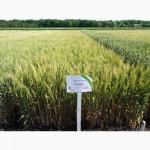 Семена озимой пшеницы Славна (элита)