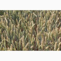 Яровая пшеница Альберта