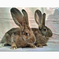 Продам кролей бельгийский великан