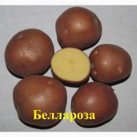 Картофель на посадку, элита - сорт Беллароза