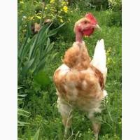 Голошейка. Яйцо Испанка. Купить инкубационное яйцо Испанки