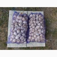 Продам чеснок сорт Любаша 500 кг цена договорная