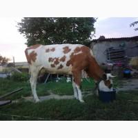 Корм молокогонный для коров и коз