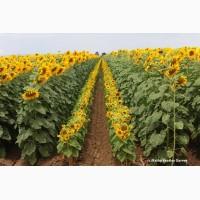 Семена подсолнуха под Гранстар, Експресс, Евролайтинг, Сумо