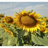 Семена подсолнечника ЕС Лорис СЛП от Евралис (Euralis)