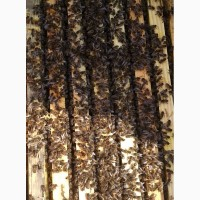 Продам пчелопакеты Бакфаст