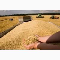 Куплю зерновые. Рожь. Пшеница. Кукуруза. Ячмень. Овес. Желтый горох