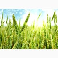 Продам семена озимой пшеницы Мелодия Одеська