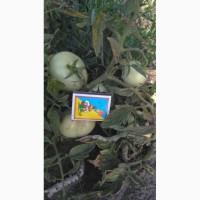 Продам зелёный помидор