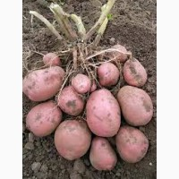 Продам картоплю Біла Роза, Львовская обл