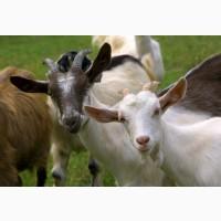 Проодаю оптом стадо коз