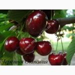 Продам саженцы черешни и вишни