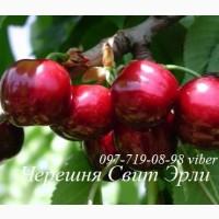 Продам саженцы черешни, вишни, вишнево-черешневого гибрида