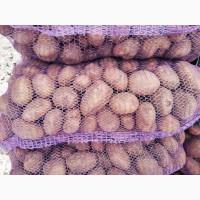 Закупаю картофель у населения