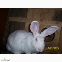 Пропоную кролі термонська біла