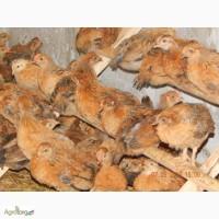 Продам месячных цыплят кучинской юбилейной породы кур