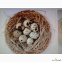Продаем яйца перепелиные инкубационные